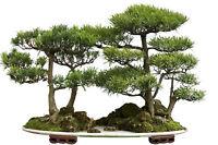 Japanische Zeder - Sicheltanne - 30 SAMEN - Cryptomeria japonica - winterhart