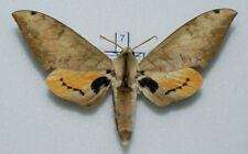 Sphingidae - Pseudoclanis occidentalis - male #7