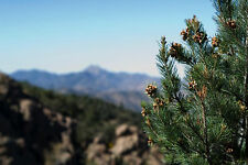 10 Pinyon Pine Nut Seeds ~ Sustainably Raised SOFT SHELL Pinus monophylla USA