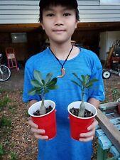 Adenium obesum Desert Rose choice ! perfect for bonsai  !!!!!!