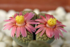 Lithops verruculosa cv Rose of Texas,  living stone rock stone seed 100 SEEDS