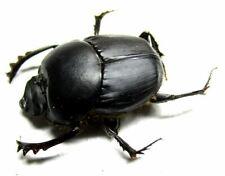 c003 NL :Onthophagus species? 13.5mm******************************