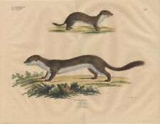 Antique Print-STOAT-LEAST WEASEL-MUSTELA-Goldfuss-1824