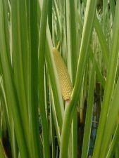 250 SWEET FLAG GRASS Acorus Calamus Wetland Pond Seeds
