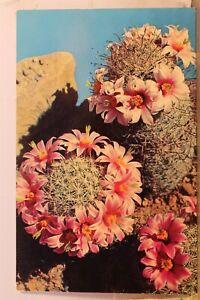 Scenic Fishhook Cactus Postcard Old Vintage Card View Standard Souvenir Postal