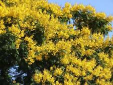 Schizolobium parahyba Yellow Jacaranda Giant Brazilian Fire Fern Tree, 2 seeds