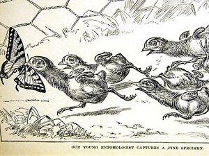 Entomology Entomologist BABY CHICK CAPTURES BUTTERFLY 1889 BIRD Art Print Matted
