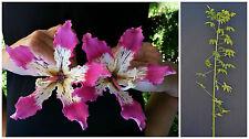 CHORISIA SPECIOSA v18 cm Ceiba speciosa albero bottiglia-del Kapok Silk Floss