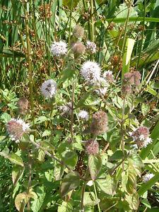Water Mint Mentha Pulegium Penny Royal LIVE Plant Aquatic Pond Marginal Bog