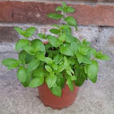 Mint Seeds Bonsai Potted Heirloom Plants Organic Herbs Seeds Home Garden