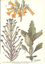 Stampa antica FIORI KALANCHOE tubiflora Madagascar 1910 Old antique print