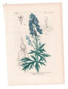 Antique Botanical Print Aconitus Stoerchianum Artus-Kirchner-1876