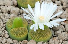 Lithops lesliei 'Albinica C 036A 20 seeds