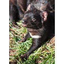 Tasmanian Devil 500 piece Jigsaw by John Temple
