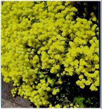 6 ALYSSUM SAXATILE COMPACTUM 'GOLD BALL'  - HP - MEDIUM PLUG PLANTS