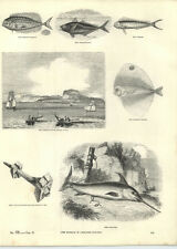 1854 Engravings Swordfish Tusk In Timbers Fishing Boats Capri