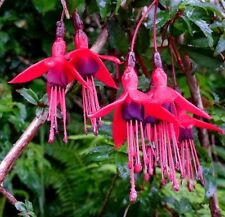 HARDY FUCHSIA!!! Zone 6 Or Colder! Cold Exotic Magellanica Pots Shrub 15 Seeds