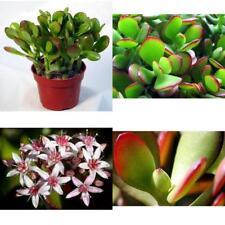 "Jade Plant Crassula Ovuta Easy to Grow 4""Pot Indoor PInk or White Flowers NEW"