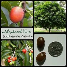5 SPANISH CHERRY TREE SEEDS (Mimusops elengi) Edible Fruit Sweet Shade Medicinal