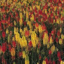 Kings Seeds - Red Hot Poker Kniphofia - 200 Seeds