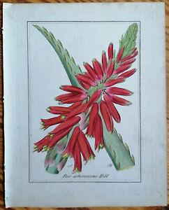 Winkler Originaldruck Koloriert Botanik Aloe arborescens - 1842