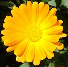 Calendula officinalis, common marigold, pot marigold, 5 g, appx. 1350 seeds