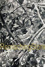 Nest and Eggs Of Yellow Warbler in Elder Bush © 1900 Vintage Reprint