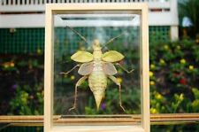 Giant Jungle Nymph Insect Bug Double Glass Wood Frame