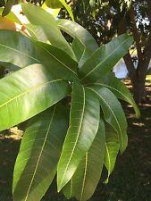 100+ Fresh picked organic mango leaves Vacuum Sealed