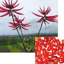 Erythrina Smithiana - Coral Bean Tree - Rare Tropical Plant Tree Seeds (5)