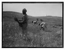 Photo:Reaping Scenes,Arab Peasants,Middle East,1898-1946,Farming,Farm Life 4732