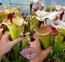 107) Pack of Sarracenia seeds 2020/2021, carnivorous plants rare