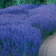 Salvia Victoria Blue Seed Perennial  Flowers All Summer Salt Tolerant Adaptable