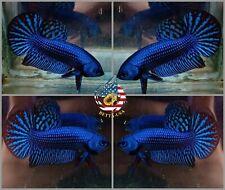 Live Betta Fish High Quality Wild Betta Alien Blue - USA Seller