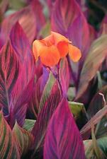 """Most Beautiful Foilage Canna Lily, """"Phasion"""" (1) Nice Sized Root, Plant, Rhizome"""