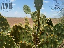 Texas Prickly Pear Cactus - 12 Pads - Iconic ✿ Useful ✿ Die Hard - lindheimeri
