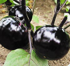 30 Purple Round Eggplant Seeds Aubergine Melongena Organic Vegetables C003