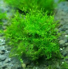 Fissidens Fontanus 8x8 Cm- Live Aquarium Moss Water Plants Tropical Fish Tank