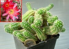 Cactus Plante grasse Chamaelobivia rouge-violet