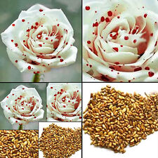 New listing Exotic White Drop Blood Rose Flower Seeds Home Garden Bonsai Plant Decoration