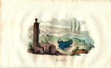 Stampa antica RANA ROSPO PIPA PIPA 1826 Old antique print frog