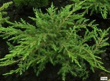 bizzar unregelm Juniperus communis Horstmann Pendula 100-125 Igel-Wacholder