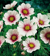 New listing White Cosmos Seeds, Daydream, Heirloom Cosmos Seeds, Bulk Cosmos Seeds, 400ct