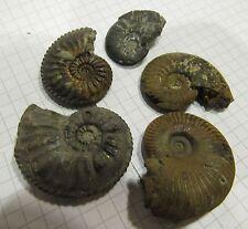 #N34 Mineralien Sammlung / fossil / Konvolut 5x Pyrit Limonit Ammoniten 28-40mm
