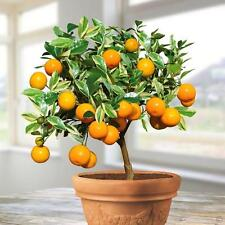 30pcs-Delicious Fruit Mini Potted Orange Tree - Plant Seed Sweet Orange