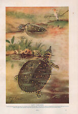 1911 Natural History Double Sided Print ~ Soft Tortoises / Blue Sharks