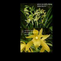TSI1020.33 Cym. Golden Elf (Cym. ensifolium × Cym. Enid Haupt) 黃金小神童 Bare Root T