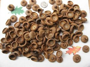 150 Natural Red Oak Acorn caps. APPROX. SIZE NICKLE & LESS - Clean. Grade A
