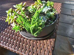 CRASSULA  STOWAWAY SELF ROOTING SUCCULENT  PLANT STEM CUTTINGS X 3