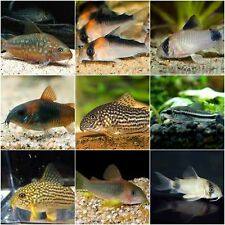 X20 ASSORTED CORYDORAS CATFISH- LIVE FRESHWATER TROPICAL CATFISH - FREE SHIPPING